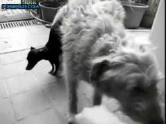 tiny dog Lucky fucked by large beast